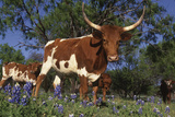 Texas Longhorn Cow in Field of Bluebonnets (Lupine Sp.), Marble Falls, Texas, USA Photographic Print by Lynn M. Stone