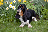 Basset Hound (Young Male) Standing by Daffodils, Woodstock, Connecticut, USA Photographic Print by Lynn M. Stone