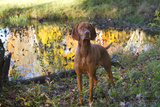 Vizsla Standing by Pool with Autumn Reflections, Pomfret, Connecticut, USA Photographic Print by Lynn M. Stone