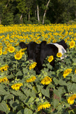 Belted Galloway Cow in Sunflowers, Pecatonica, Illinois, USA Photographic Print by Lynn M. Stone