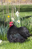 Rooster- (Breed- Black Mottled Cochin Bantam) Photographic Print by Lynn M. Stone