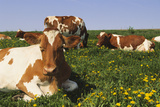 Guernsey Cows in Dandelion-Studded Pasture, Dekalb, Illinois, USA Photographic Print by Lynn M. Stone