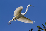 Great Egret (Ardea Alba) in Breeding Plumage Photographic Print by Lynn M. Stone