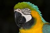 Blue and Gold Macaw (Ara Ararauna) Stampa fotografica di Lynn M. Stone