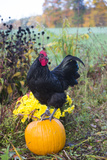 Large Black Australorp Rooster Atop Pumpkin in Autumn Garden, Higganum Photographic Print by Lynn M. Stone