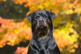 Rottweiler in Autumn, E. Haddam, Connecticut, USA Photographic Print by Lynn M. Stone