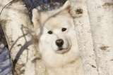 Samoyed in Snow, Ledyard, Connecticut, USA Photographic Print by Lynn M. Stone