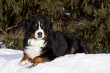 Bernese Mountain Dog Lying in Snow by Spruce Tree, Elburn, Illinois, USA Photographic Print by Lynn M. Stone
