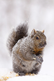 Gray Squirrel Eating Corn During Snow Storm, St. Charles, Illinois, USA Photographic Print by Lynn M. Stone