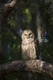 Southern Barred Owl (Strix Varia Georgica) Perched on a Pine Branch in Late Afternoon, Myakka City Photographic Print by Lynn M. Stone