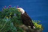 Bald Eagle (Haliaeetus Leucocephalus) Photographic Print by Lynn M. Stone