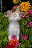 Kitten in Flowers, Sarasota, Florida, USA Photographic Print by Lynn M. Stone