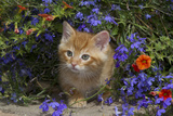 Kitten on Garden Wall with Flowers, Wheaton, Illinois, USA Photographic Print by Lynn M. Stone