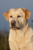 Portrait of Yellow Labrador Retriever in Spartina Grass by Saltwater Pond Photographic Print by Lynn M. Stone