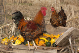 Rooster and Hen Perched on Antique Wooden Wheelbarrow Loaded with Gourds in Late Autumn Stampa fotografica di Lynn M. Stone