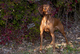Vizsla Standing by Autumn Foliage, Guilford, Connecticut, USA Photographic Print by Lynn M. Stone