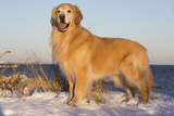 Male Golden Retriever Standing on Snow Covered Rocks at a Long Island Sound Beach, Madison Stampa fotografica di Lynn M. Stone