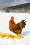 Free-Range New Hampshire (Breed) Photographic Print by Lynn M. Stone
