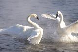 Trumpeter Swan(S) (Cygnus Buccinator) in Winter Morning Mist Impressão fotográfica por Lynn M. Stone