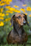 Standard Smooth-Coated Dachshund in Summer Garden Flowers, Monroe, Connecticut, USA Photographic Print by Lynn M. Stone