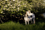 Arabian Horse by Apple Tree in Early Evening Light, Fort Bragg, California Photographic Print by Lynn M. Stone
