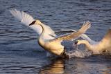 Trumpeter Swan (Cygnus Buccinator) Impressão fotográfica por Lynn M. Stone