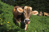 Brown Swiss in Alpine Pasture, June, Berner-Oberland Region, Switzerland Photographic Print by Lynn M. Stone