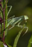 Praying Mantis (Mantis Religiosa) Dew-Soaked at Dawn Photographic Print by Lynn M. Stone