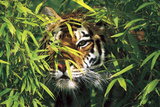Tiger Peering Through Screen of Bamboo Leaves (Captive Animal) Photographic Print by Lynn M. Stone