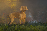Weimaraner at Edge of Pond with Autumn Leaf Reflections in Early Morning Fog, Colchester Fotoprint van Lynn M. Stone