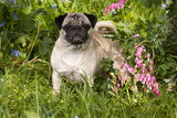Pug Standing in Virginia Bluebells and Bleeding-Hearts, Rockton, Illinois, USA Photographic Print by Lynn M. Stone