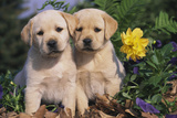Yellow Labrador Retriever Pups Sitting in Oak Leaves and Spring Flowers, Hebron, Illinois Fotografisk tryk af Lynn M. Stone