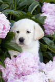 Yellow Labrador Retriever Pup in Pink Peonies, Maple Park, Illinois, USA Fotografisk tryk af Lynn M. Stone