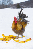 Free-Range Maran (Blue Copper Color) Rooster in Snowy Field with Corn Cobs, Higganum Photographic Print by Lynn M. Stone