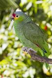 Yellow-Cheeked Amazon Parrot (Amazona Autumnalis) Stampa fotografica di Lynn M. Stone