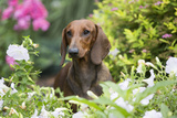 Standard Dachshund Smooth-Haired Varierty in Summer Garden Flowers, Monroe Photographic Print by Lynn M. Stone