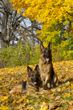 German Shepherd Dog(S) in Autumn, St. Charles, Illinois, USA Photographic Print by Lynn M. Stone