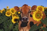 Portrait of Jersey Cow in Sunflowers, Pecatonica, Illinois, USA Photographic Print by Lynn M. Stone