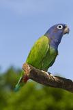 Blue-Headed Parrot (Pionus Menstruus), Captive, Costa Rica South into Bolivia, Brazil Stampa fotografica di Lynn M. Stone