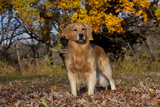 Male Golden Retriever Standing in Leaves with Yellow Oak Leaves in Background, St. Charles Photographic Print by Lynn M. Stone