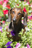 Standard Dachshund in Summer Garden Flowers, Monroe, Connecticut, USA Photographic Print by Lynn M. Stone