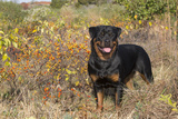Rottweiler in Seashore Meadow Berries and Brush, Madison, Connecticut, USA Photographic Print by Lynn M. Stone