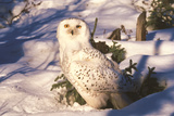 Snowy Owl (Bubo Scandiacus) Standing in Snow by Spruce Tree, Anchorage, Alaska, USA Photographic Print by Lynn M. Stone
