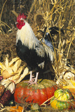 Colored Dorking Bantam Rooster Photographic Print by Lynn M. Stone