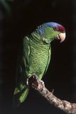 Lilac-Crowned Amazon Parrot (Amazona Finschi) Stampa fotografica di Lynn M. Stone