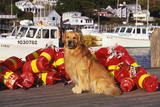 Golden Retriever Male Sitting on Dock with Lobster Pot Floats, New Harbor, Maine Photographic Print by Lynn M. Stone