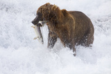 Drenched Grizzly Bear (Ursus Arctos) Carries its Prize Photographic Print by Lynn M. Stone