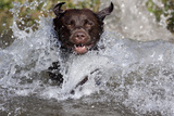 Chocolate Labrador Retriever (Female) Plunging into Stream on Retrieve, St. Charles Photographic Print by Lynn M. Stone
