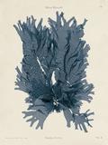 Nitophyllum Punctatum Prints by Henry Bradbury