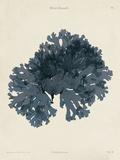Callophyllis Laciniata Art by Henry Bradbury